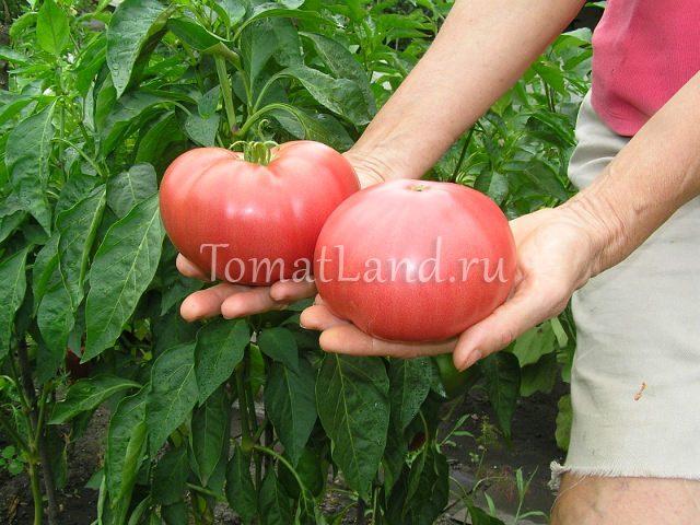 томат моя семья фото спелых плодов