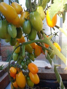 помидоры обериг фото