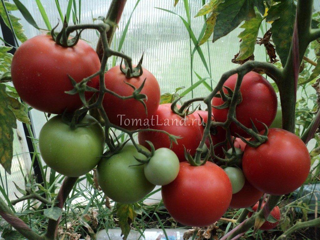 помидоры рапсодия фото куста