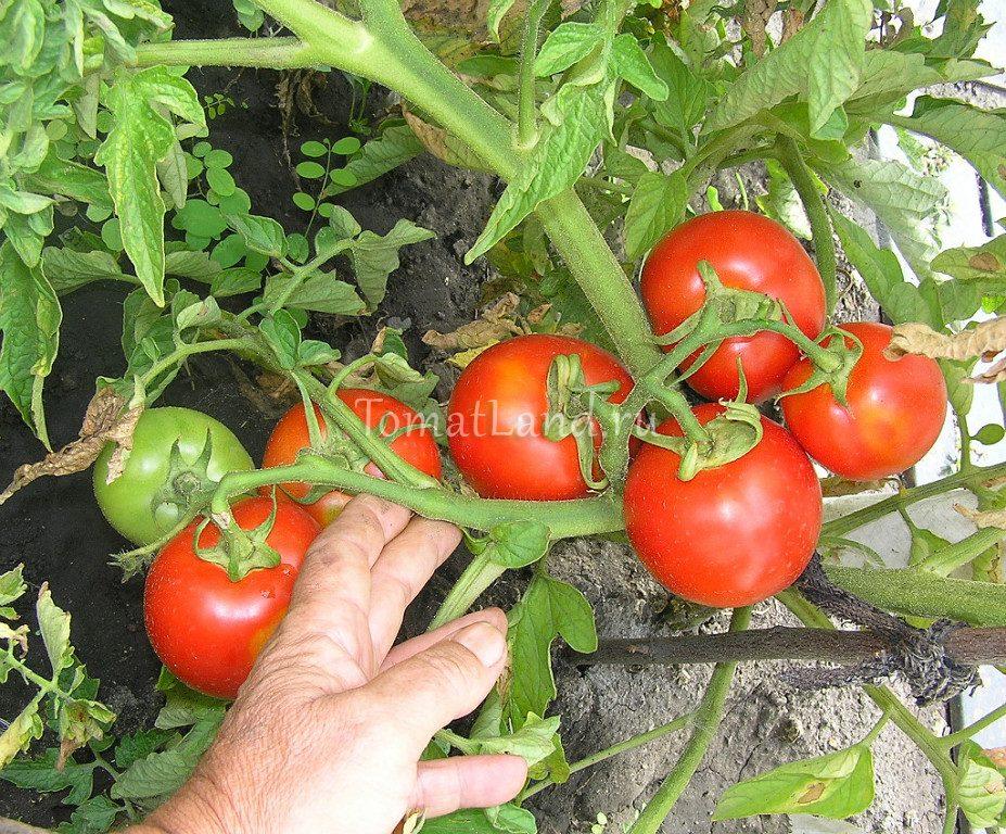 помидоры разносол фото