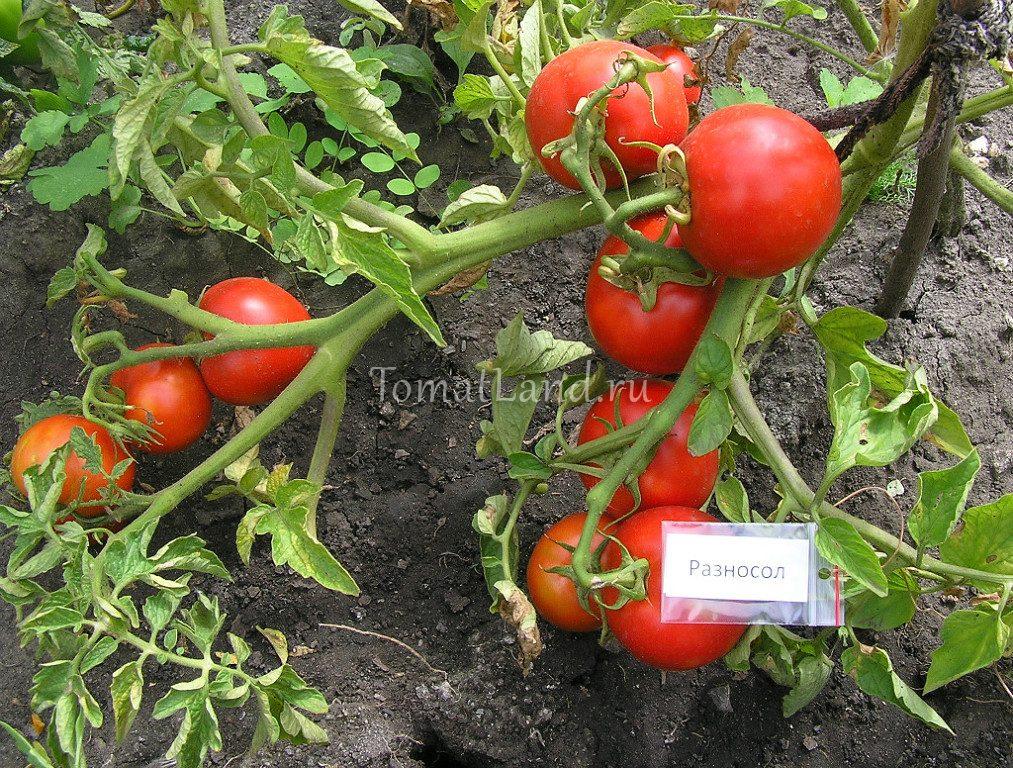 томаты разносол фото на кусте