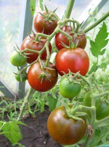 томат сашер f1