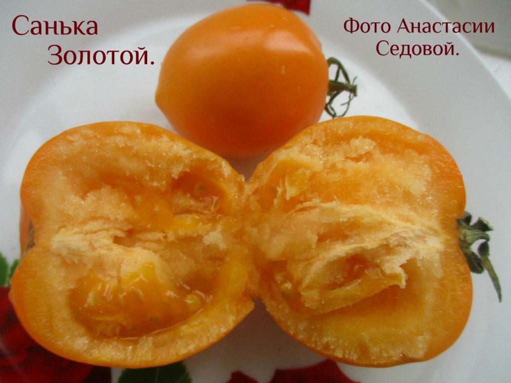 помидор санька золотой фото