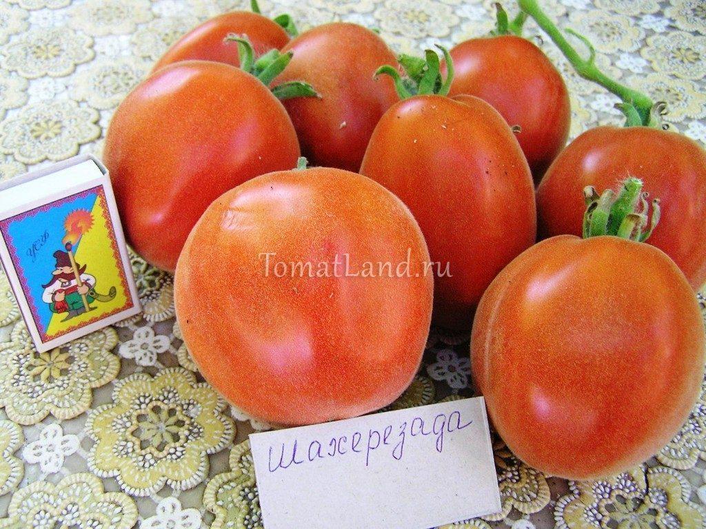 помидоры Шахерезада фото спелых плодов