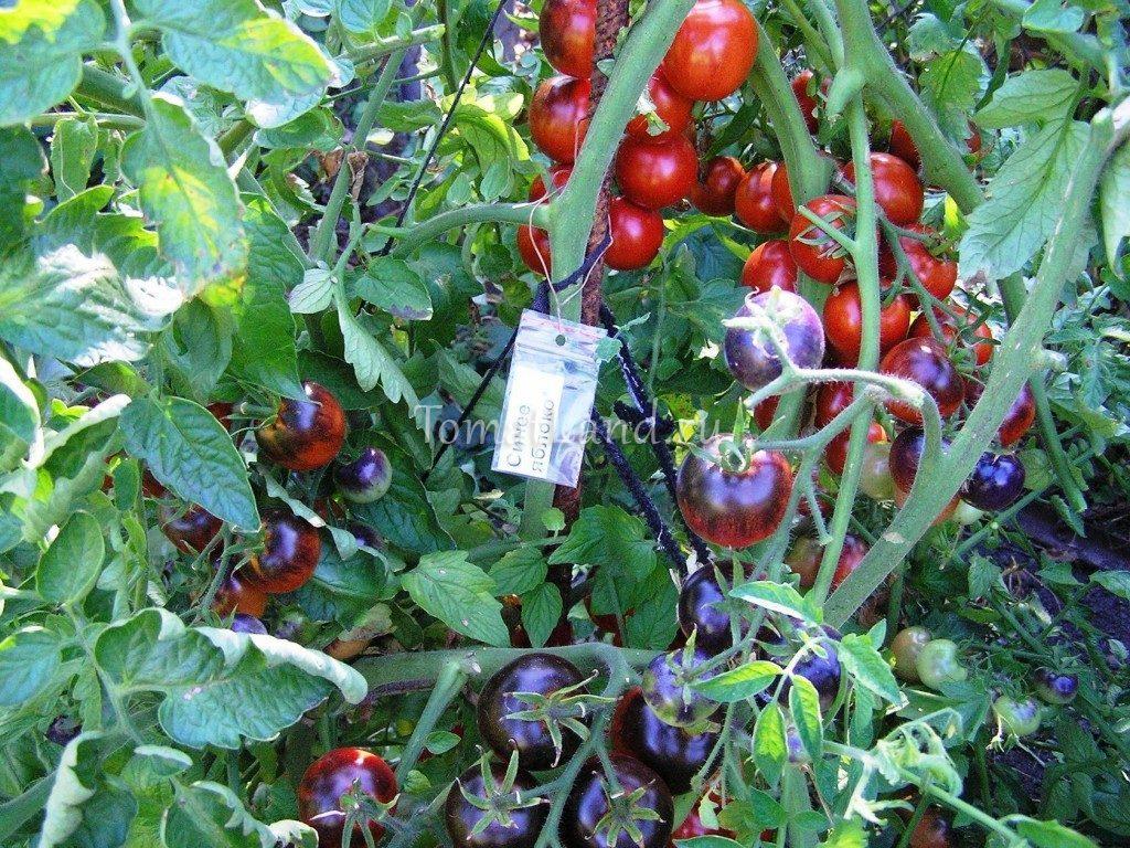 томат синее яблоко фото куста