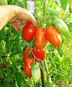 томат сливка-гигант красная фото