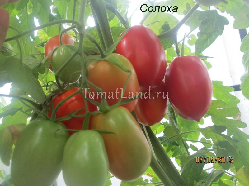 томат Солоха фото куста