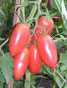 томат сосулька розовая