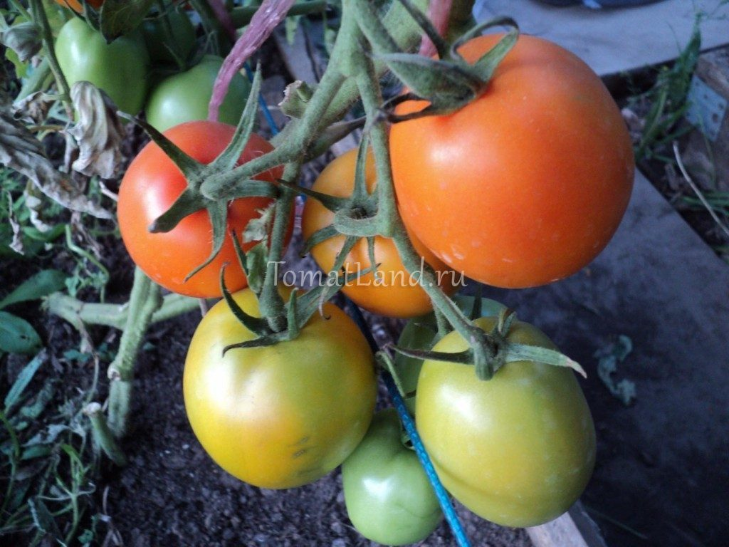 томат Стеша f1