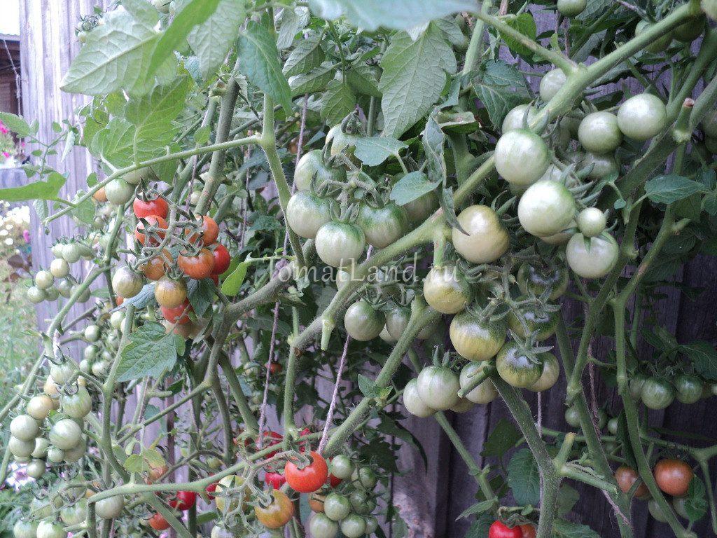 помидоры свит-черри фото