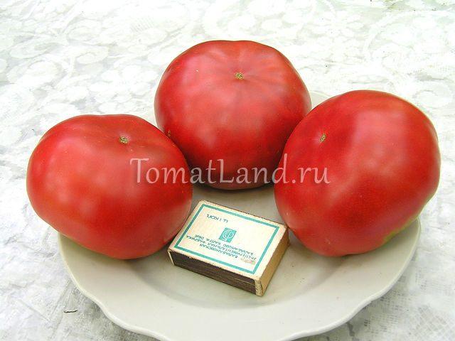 помидоры Юрмала фото спелых плодов