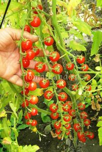 томаты Виноградные отзывы