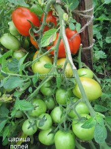 томат царица полей фото