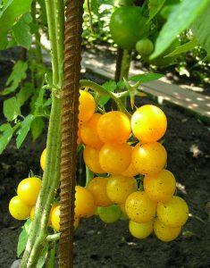 помидоры золотая капля