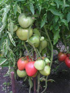 томаты андижанские фото