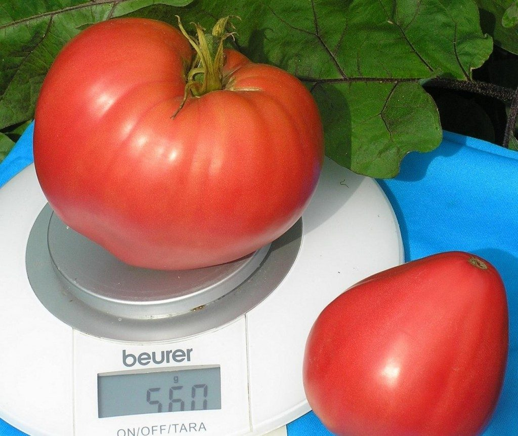 помидоры андижанские фото