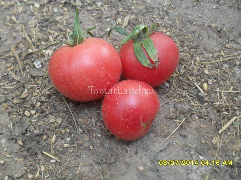 томат бархатный пижон фото спелых плодов