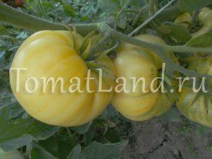 томат Сахар Белый