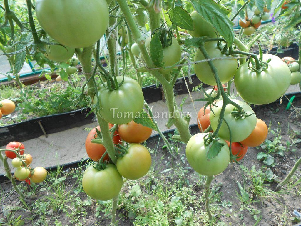 томат Буран f1 фото куста