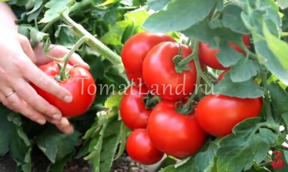 томаты джейн фото