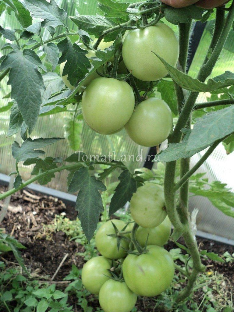 томаты Дипломат отзывы