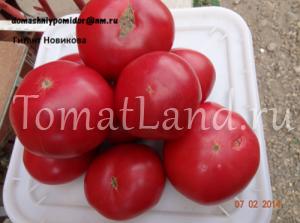томат Гигант Новикова