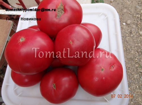 томат Гигант Новикова фото спелых плодов
