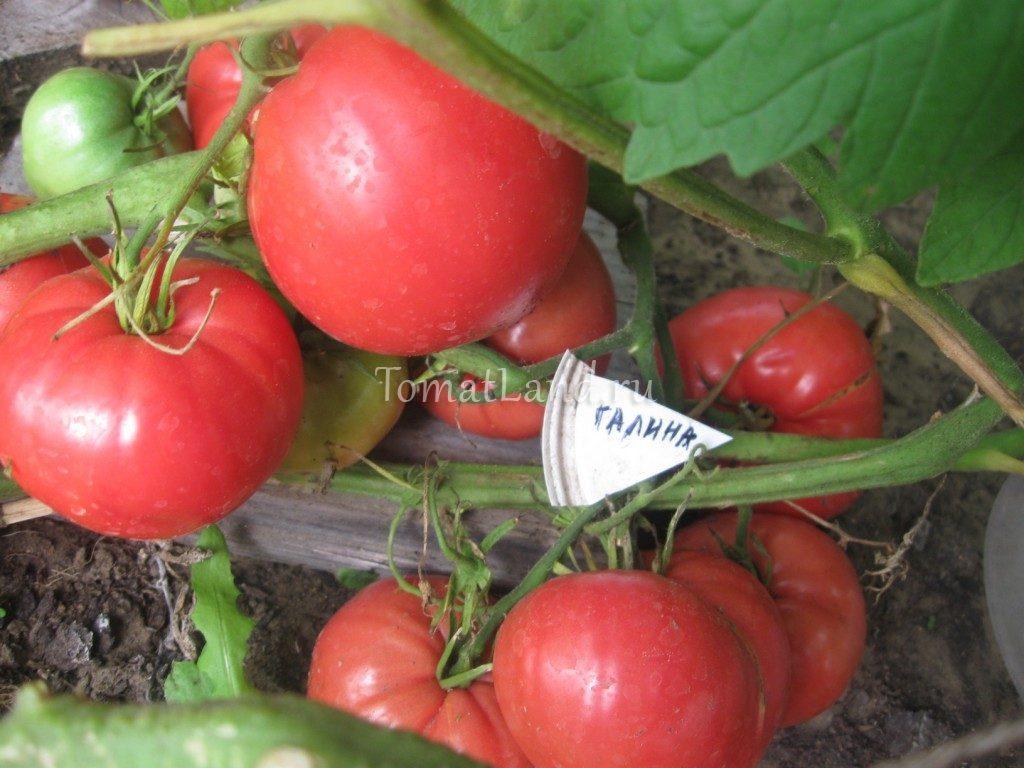 помидоры Галина фото спелых плодов