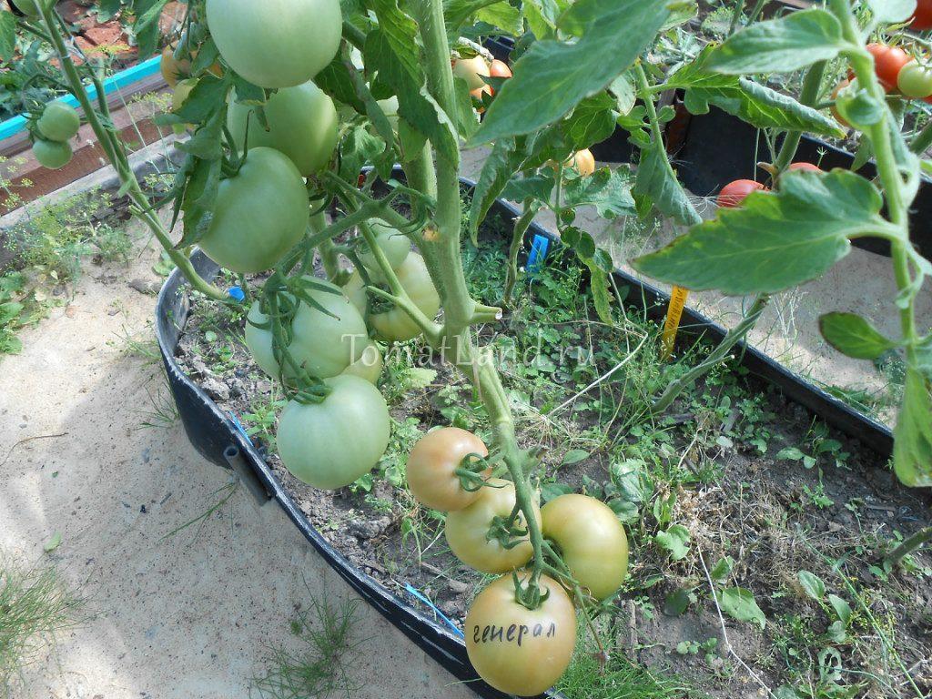 помидоры генерал f1 фото