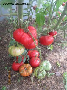 томат гигант мамонт