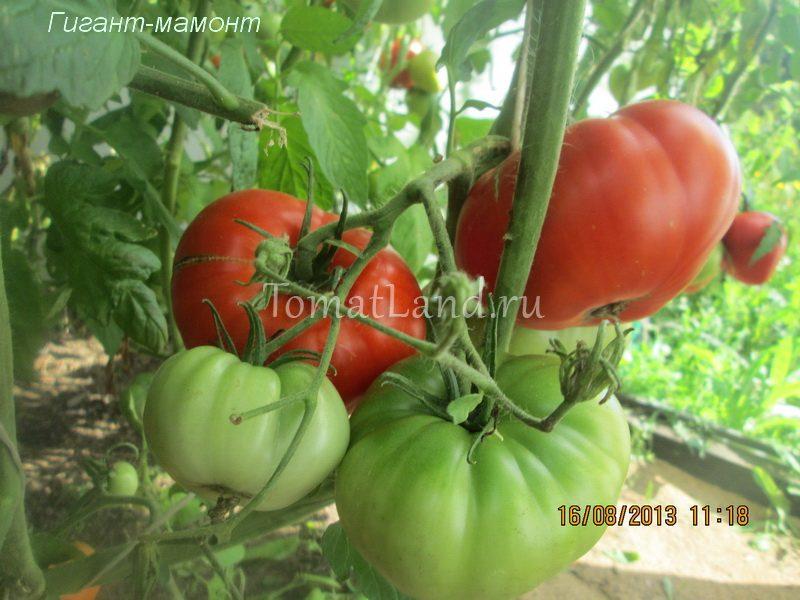 помидоры гигант мамонт фото куста