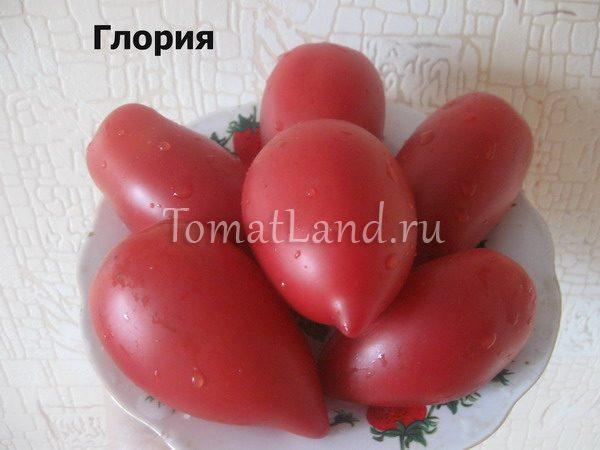 помидоры Глория фото спелых плодов