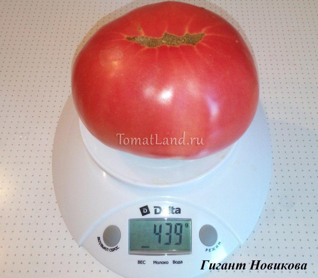 томаты гигант новикова фото отзывы