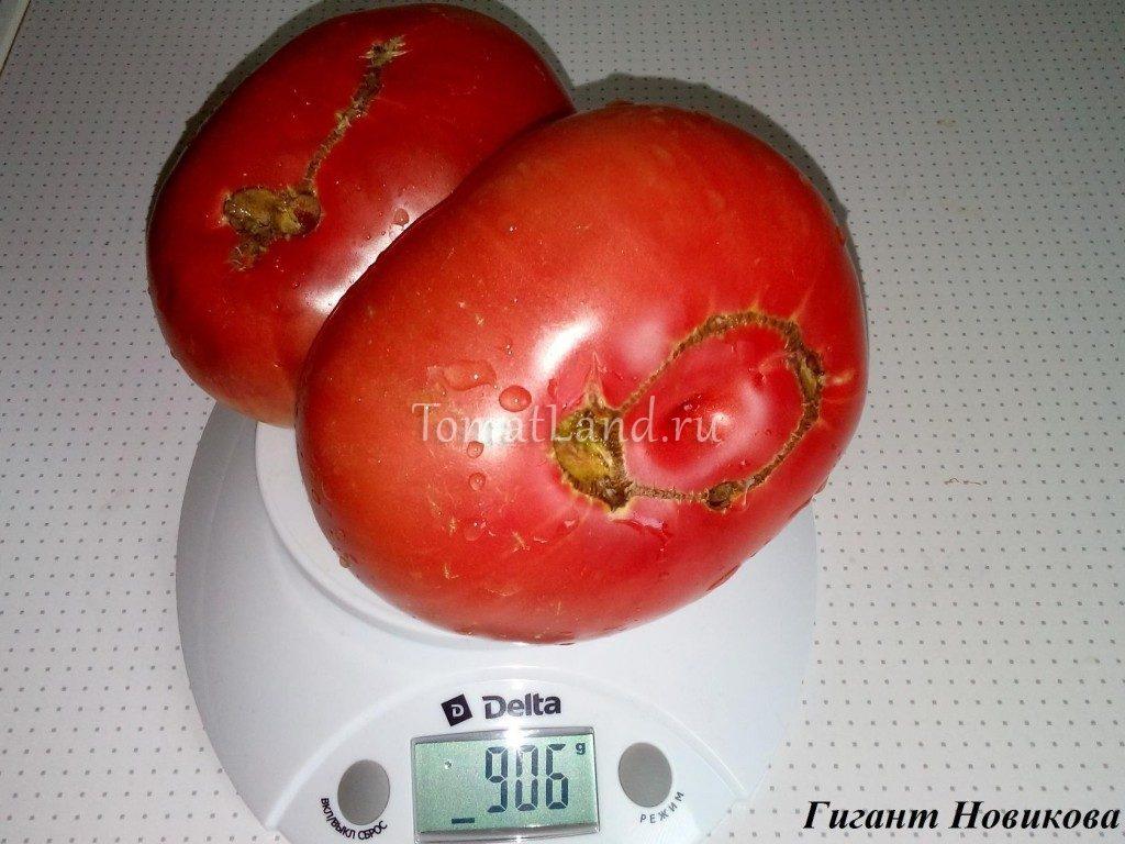 помидор гигант новикова фото характеристика