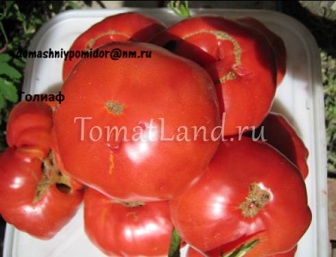 помидоры голиаф фото спелых плодов