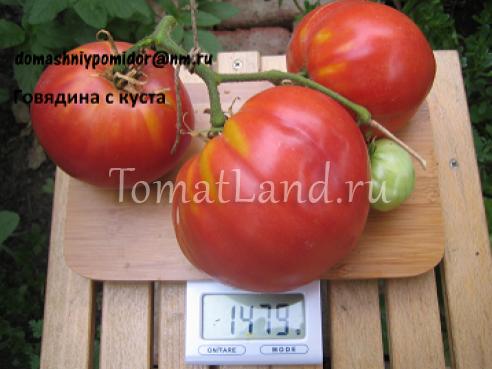 помидоры говядина с куста фото спелых плодов