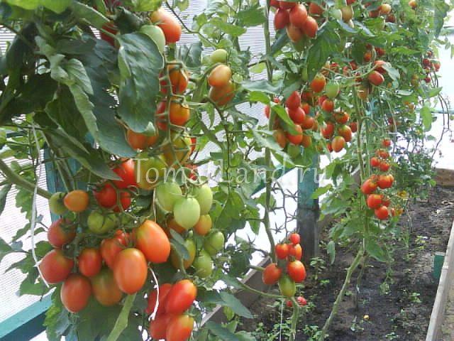 помидоры гроздевой f1 фото