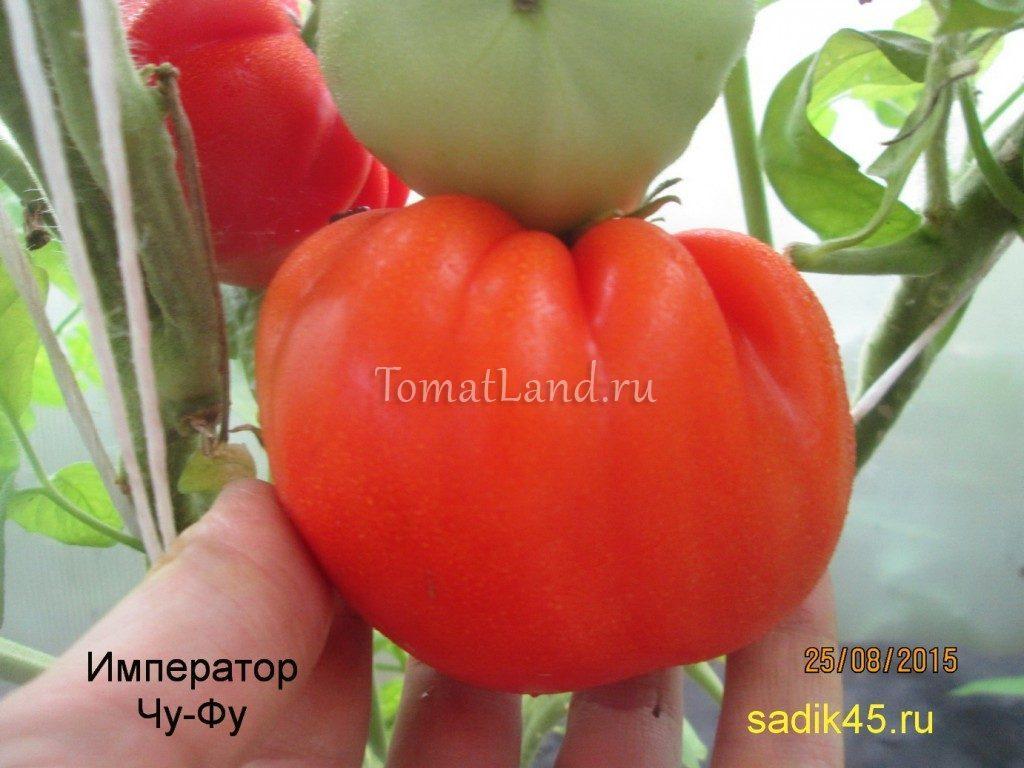 помидоры Император Чу-Фу фото отзывы