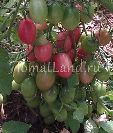 томаты розовый изюм фото