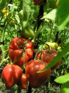 томат коловый кубанский фото