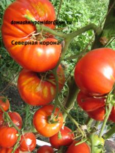 томат Северная королева