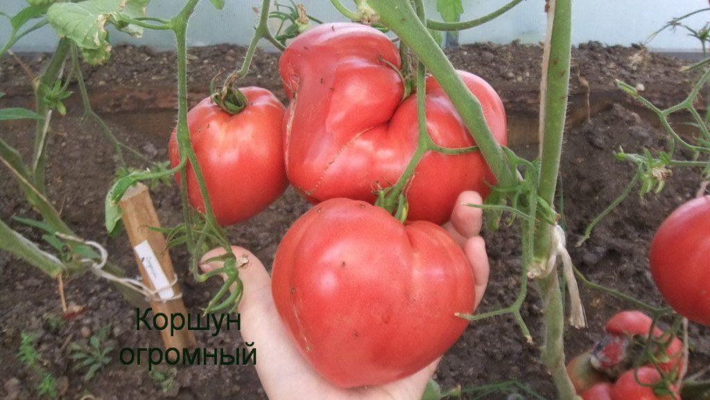 помидоры Коршун огромный