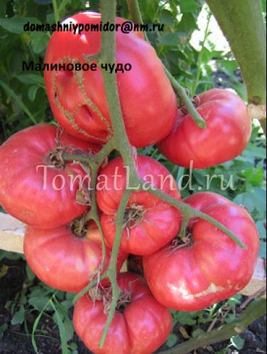 томат малиновое чудо на фото