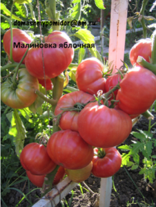 томат малиновка яблочная