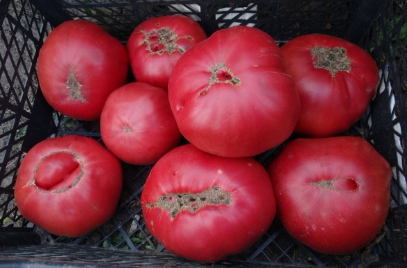 помидоры Мексиканец фото