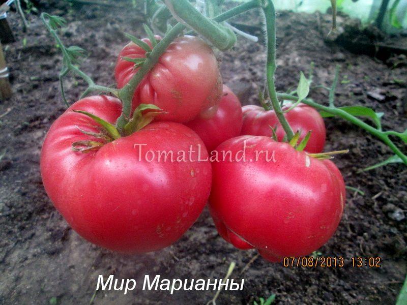 помидоры мир марианны фото