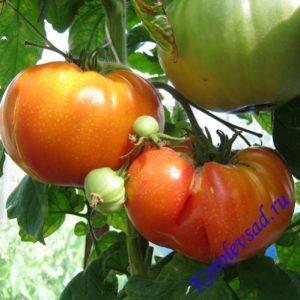 томат оаксаканская драгоценность