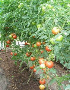 томаты пинк парадайз ф1 фото