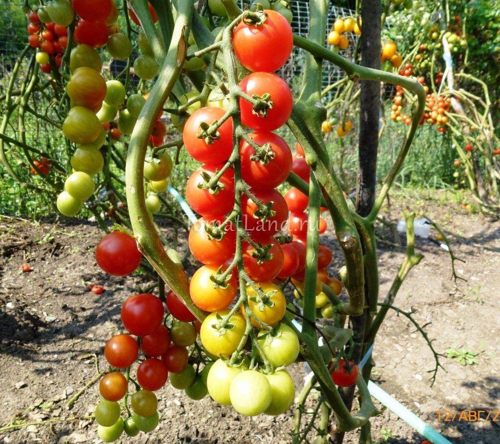 томат сорта помисолька описание легким