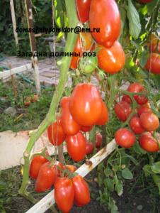 помидоры загадка долины роз